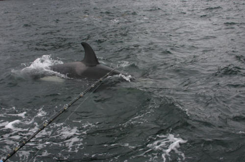 The juvenile Orca that took my King Salmon. I'm convinced the adults taught her how to do it.