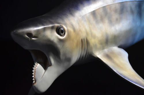 Gary Staab's full size sculpture of Helicoprion