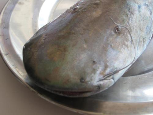 Shovel Nosed Catfish